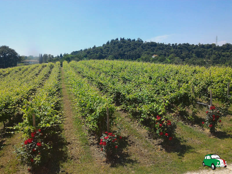 Astoria vineyards